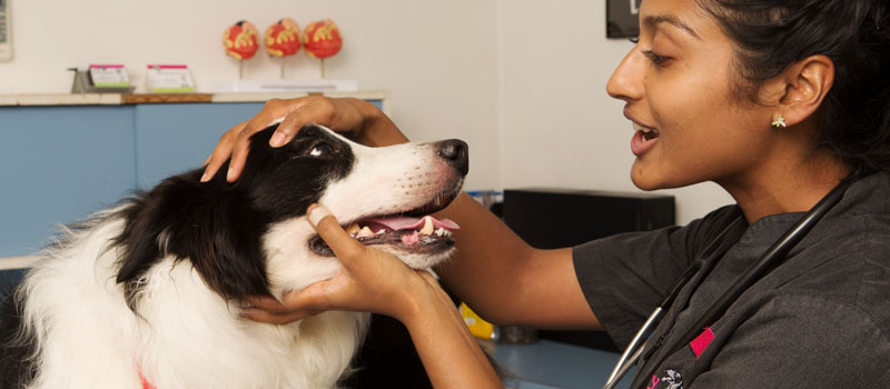 A vet checkst the health of a Darwin dog.