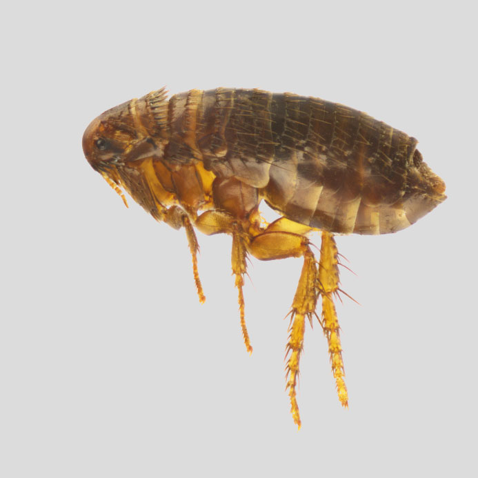 A flea found on dogs.